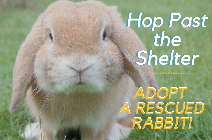 Hop Past the Shelter: Adopt a Rescued Rabbit!