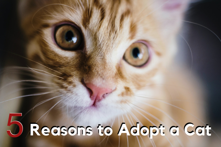 Considering adopting a new pet? 5 Reasons to Adopt a Cat